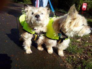 Jasper & Pixie Cairn Terriers